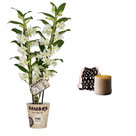 Set-Bamboo-orchid-'Pure-White-Appolon'-en-geurkaars-Lucky-Candle-Brown-(BX2AP16)